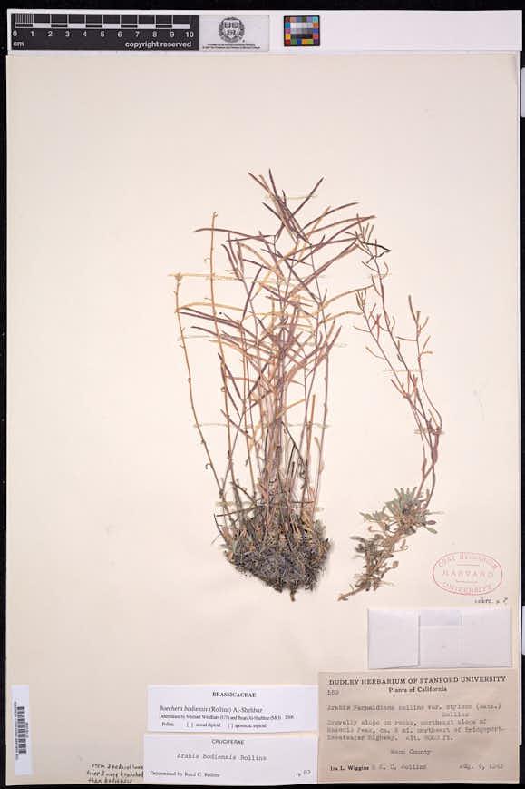 Boechera bodiensis image