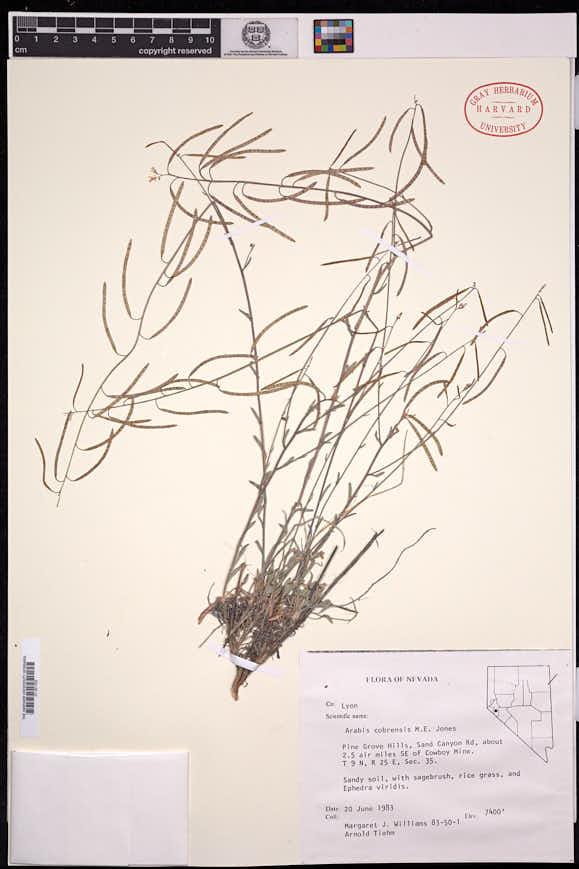 Boechera cobrensis image