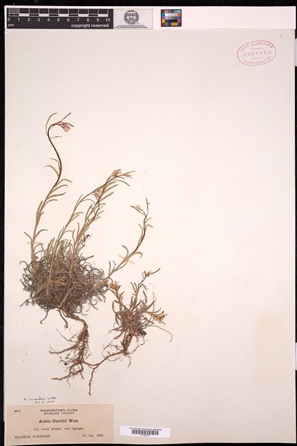 Boechera cusickii image