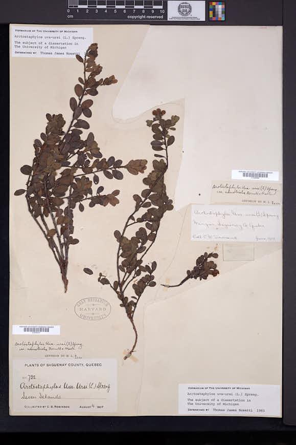 Arctostaphylos uva-ursi image