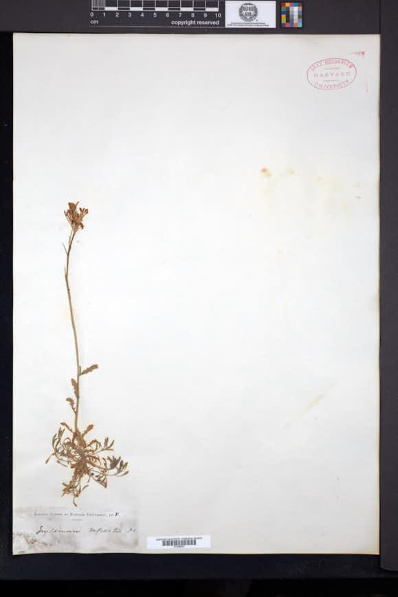 Image of Erysimum pulchellum