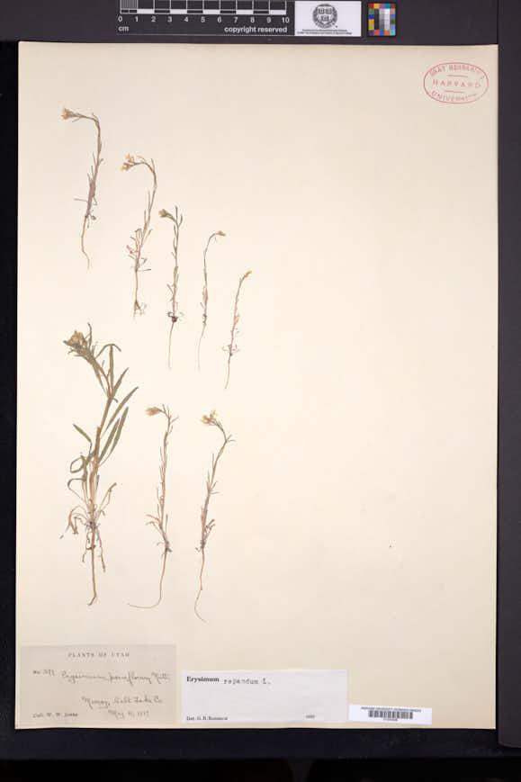 Erysimum repandum image
