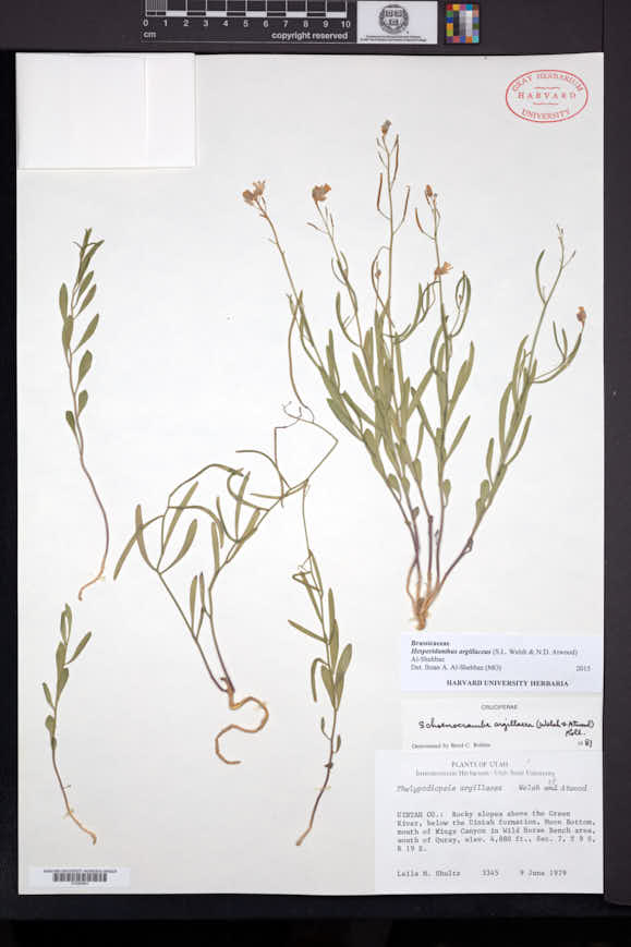 Image of Hesperidanthus argillaceus