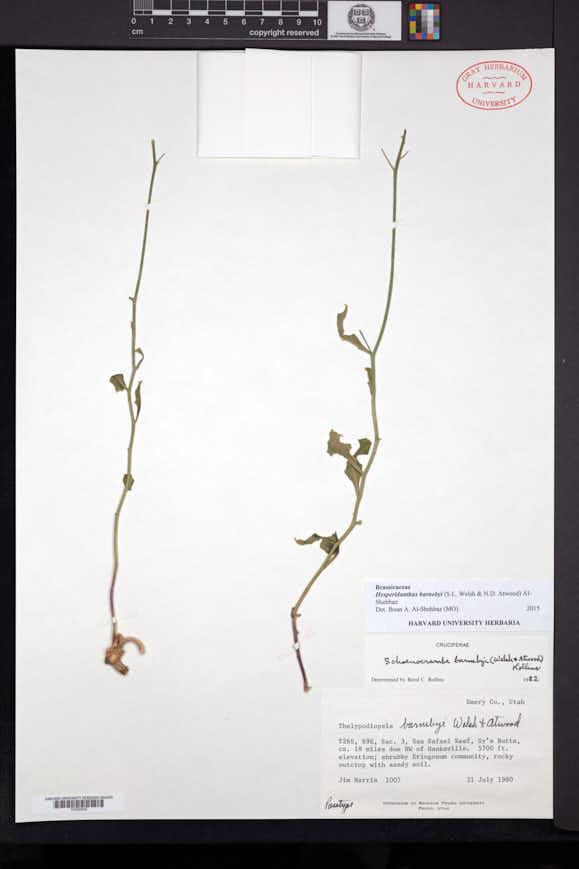 Image of Hesperidanthus barnebyi