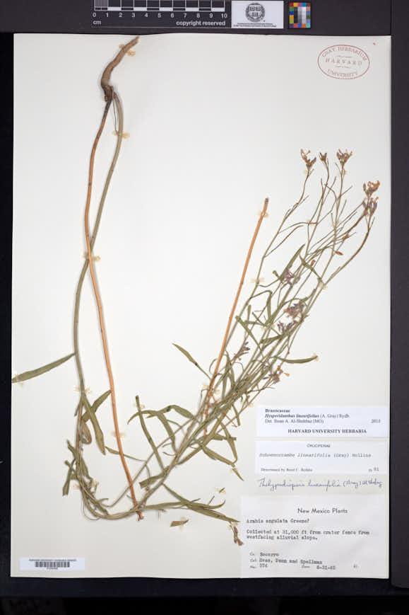 Hesperidanthus linearifolius image