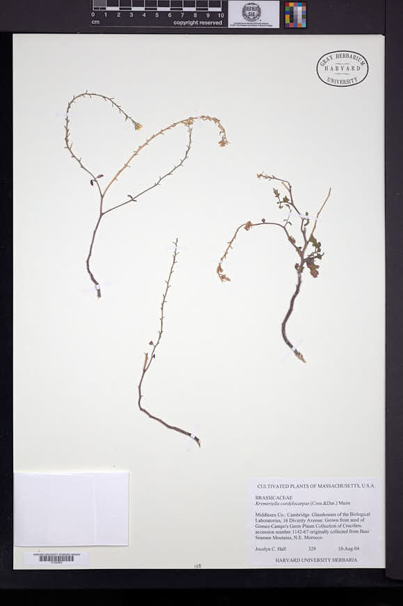 Image of Kremeriella cordylocarpus