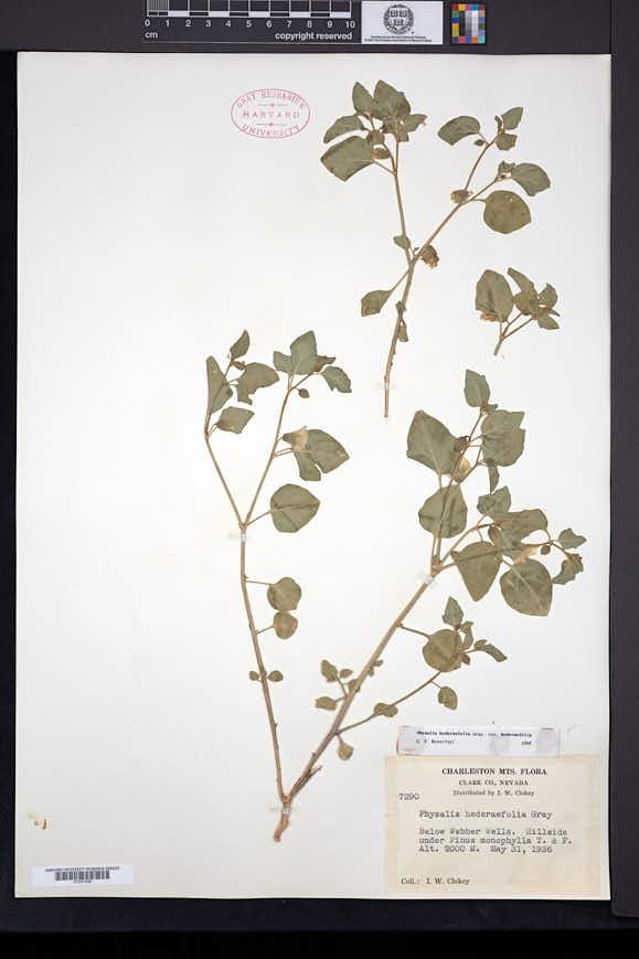 Physalis hederifolia image
