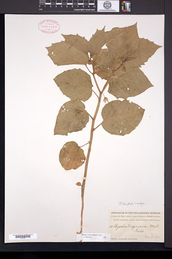 Physalis heterophylla image