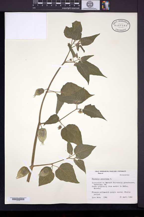 Physalis peruviana image