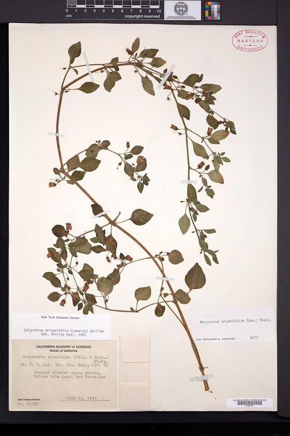 Salpichroa origanifolia image