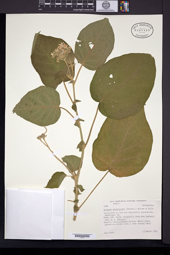 Image of Solanum abutiloides