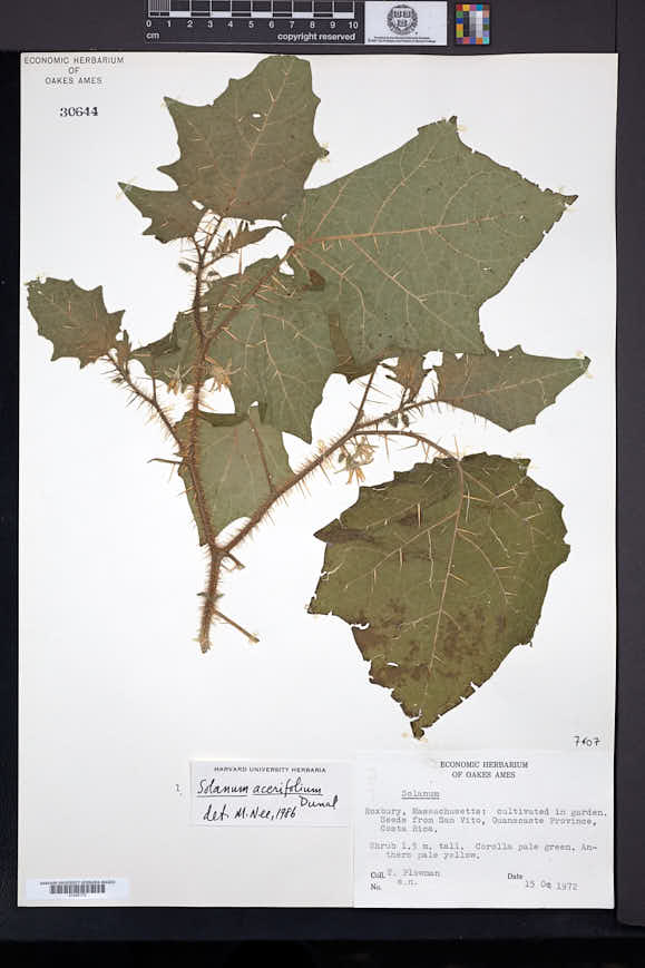 Image of Solanum acerifolium