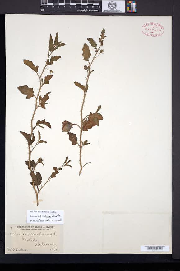 Image of Solanum agrarium