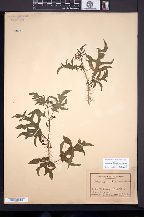 Image of Solanum atropurpureum
