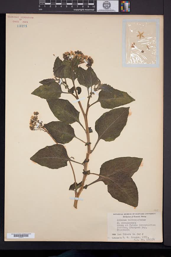 Solanum bulbocastanum image
