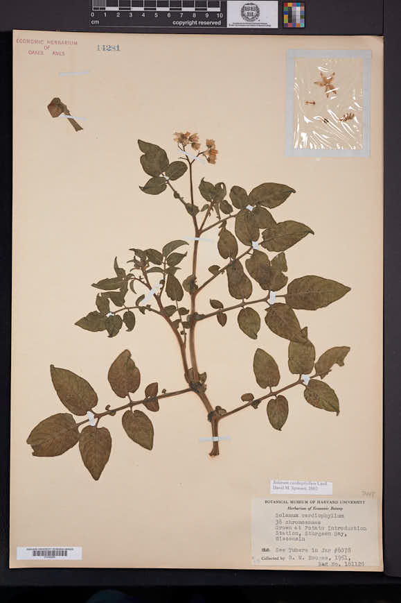 Image of Solanum cardiophyllum
