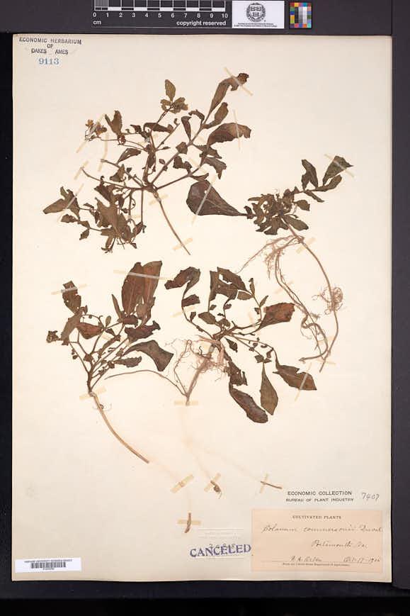 Solanum commersonii image