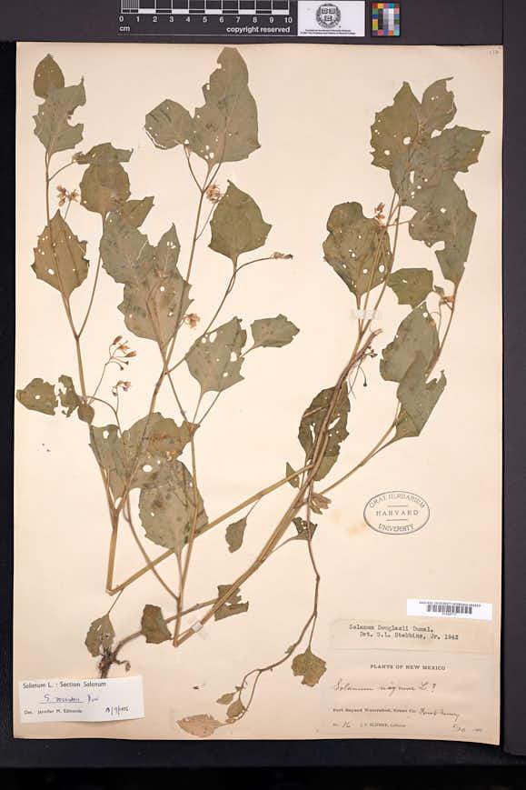 Solanum interius image