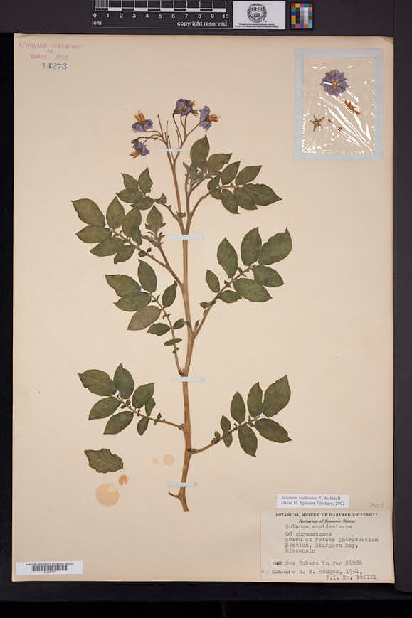 Image of Solanum edinense