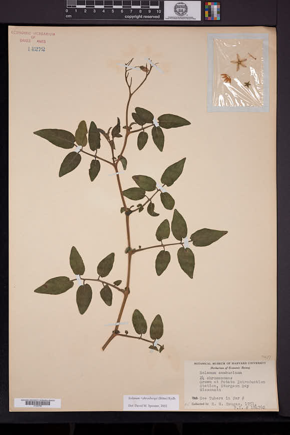 Image of Solanum ehrenbergii