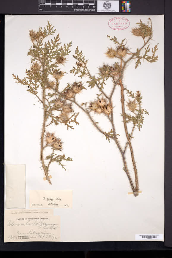 Solanum grayi image