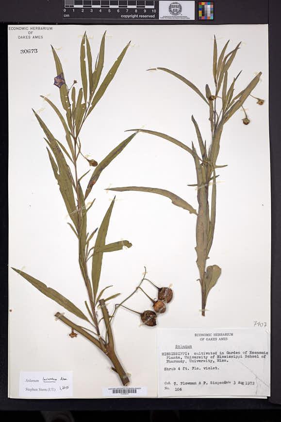 Solanum laciniatum image