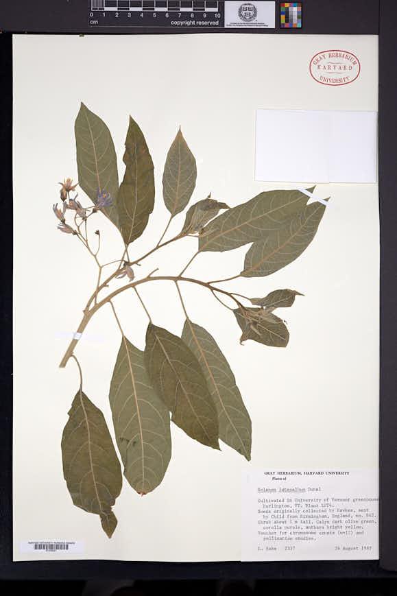Solanum luteoalbum image