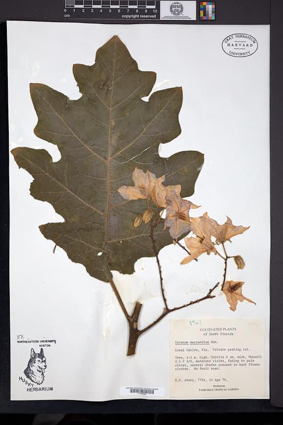 Image of Solanum wrightii