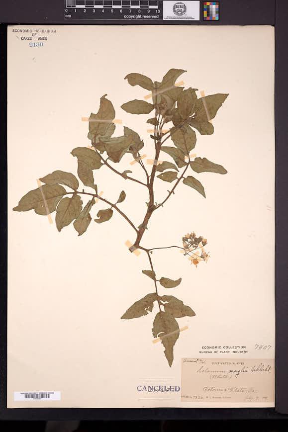 Solanum maglia image