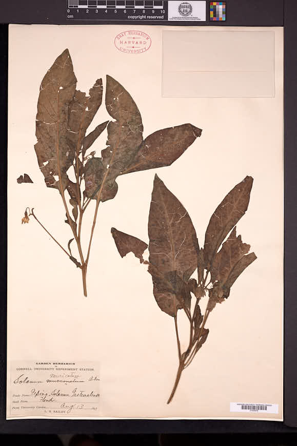 Solanum muricatum image