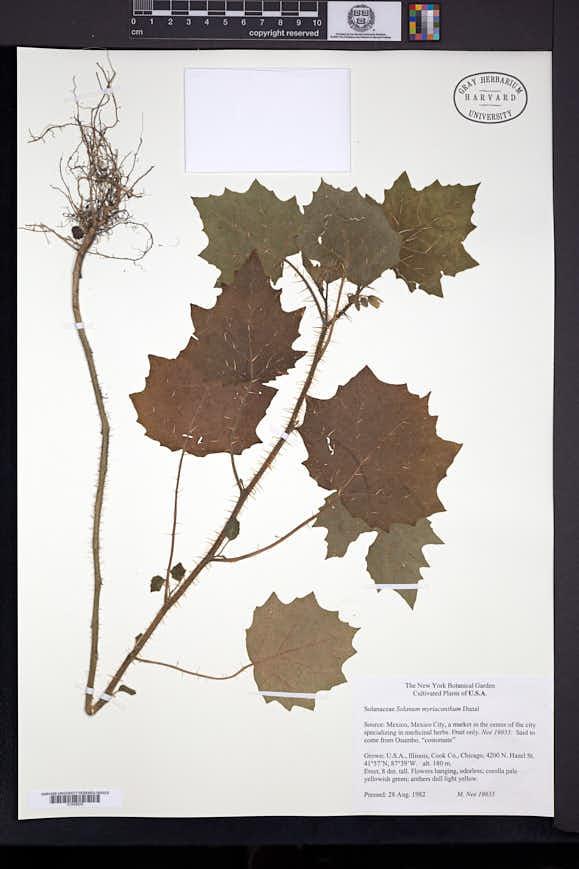 Image of Solanum myriacanthum
