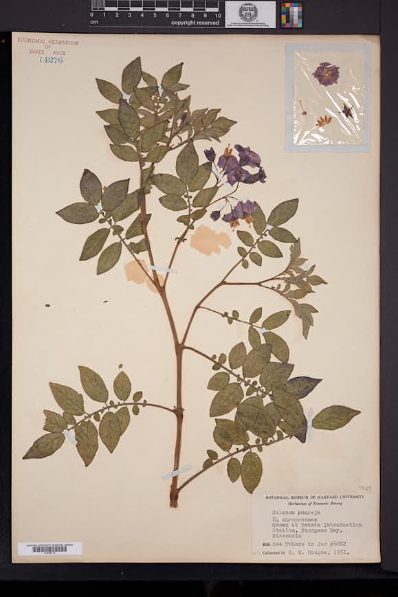 Image of Solanum phureja