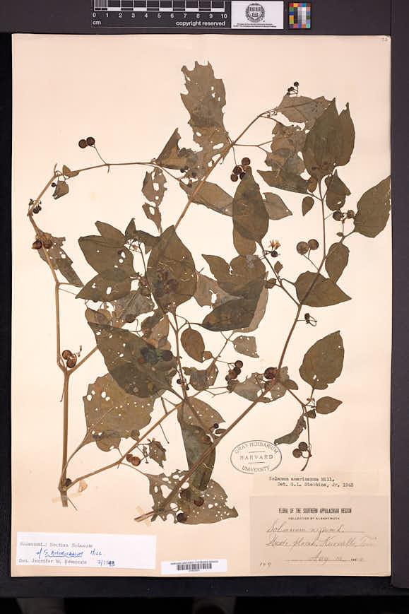 Solanum emulans image