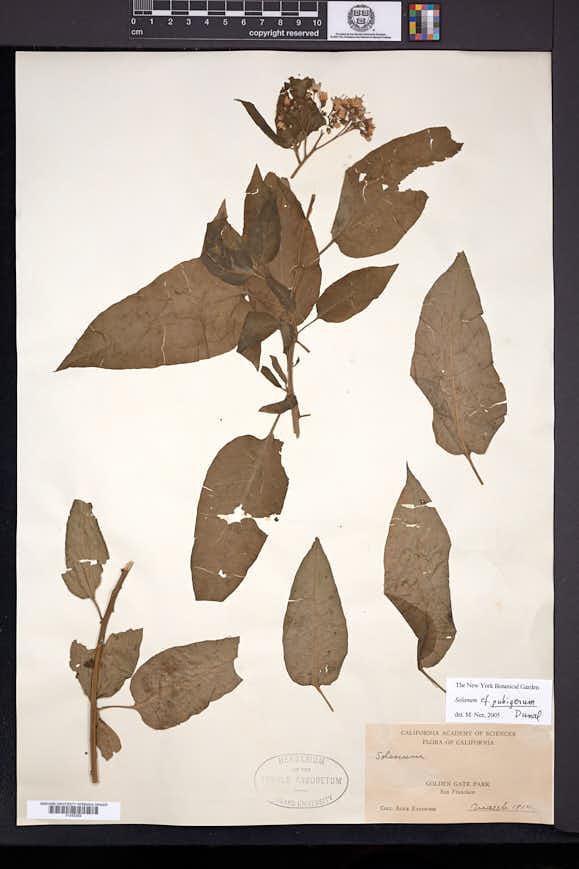 Solanum pubigerum image