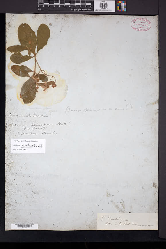 Image of Solanum pumilum