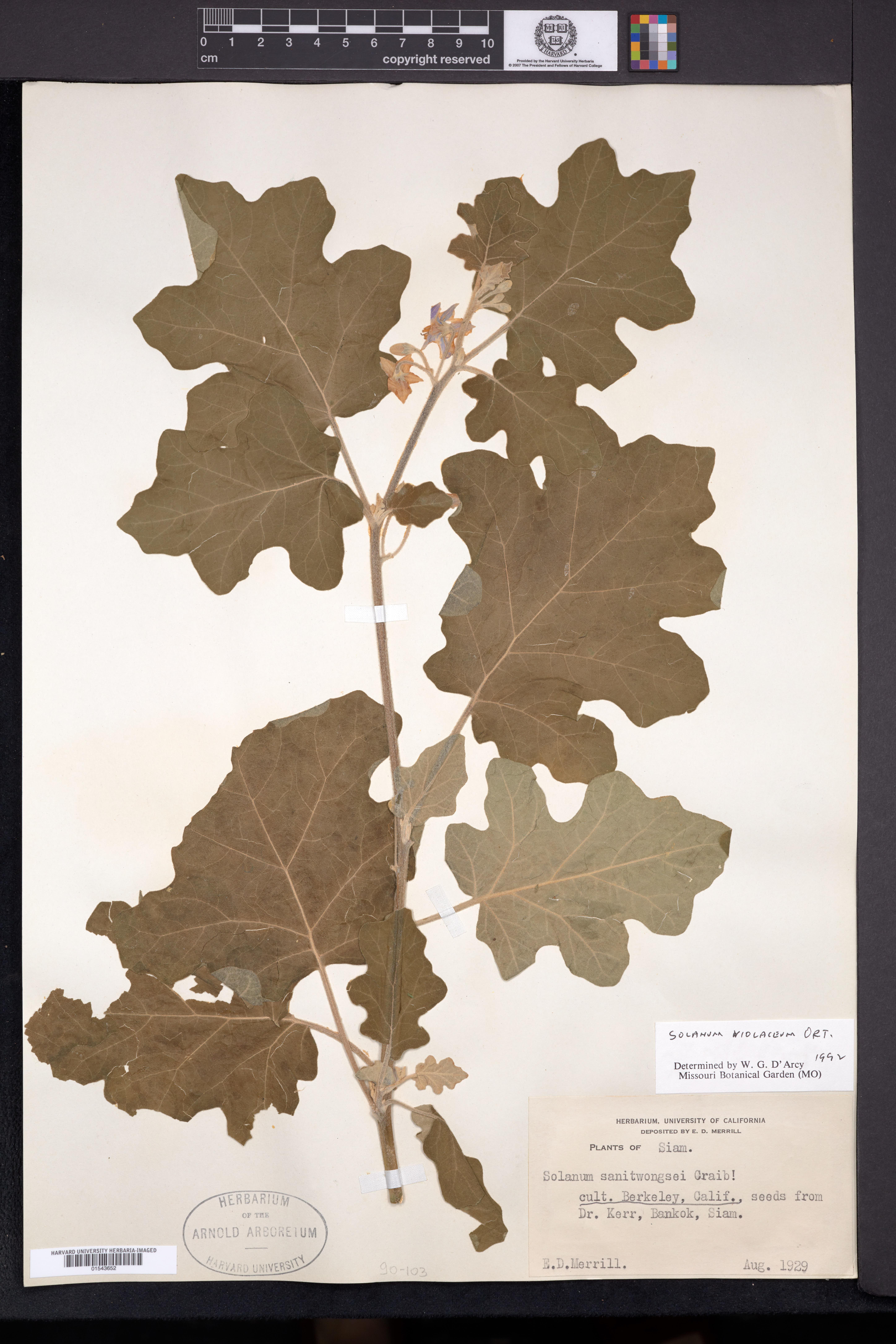 Image of Solanum violaceum