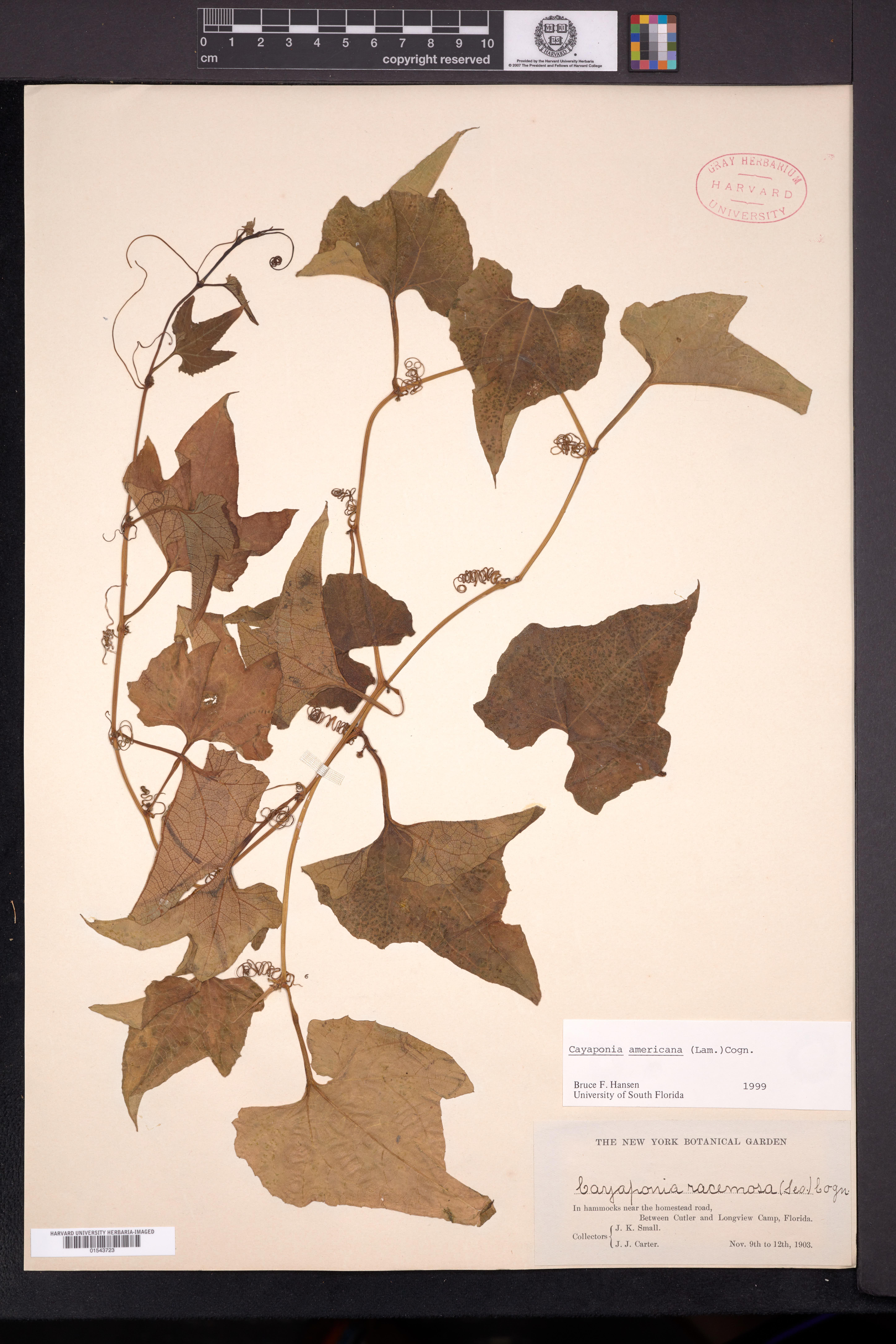 Image of Cayaponia americana