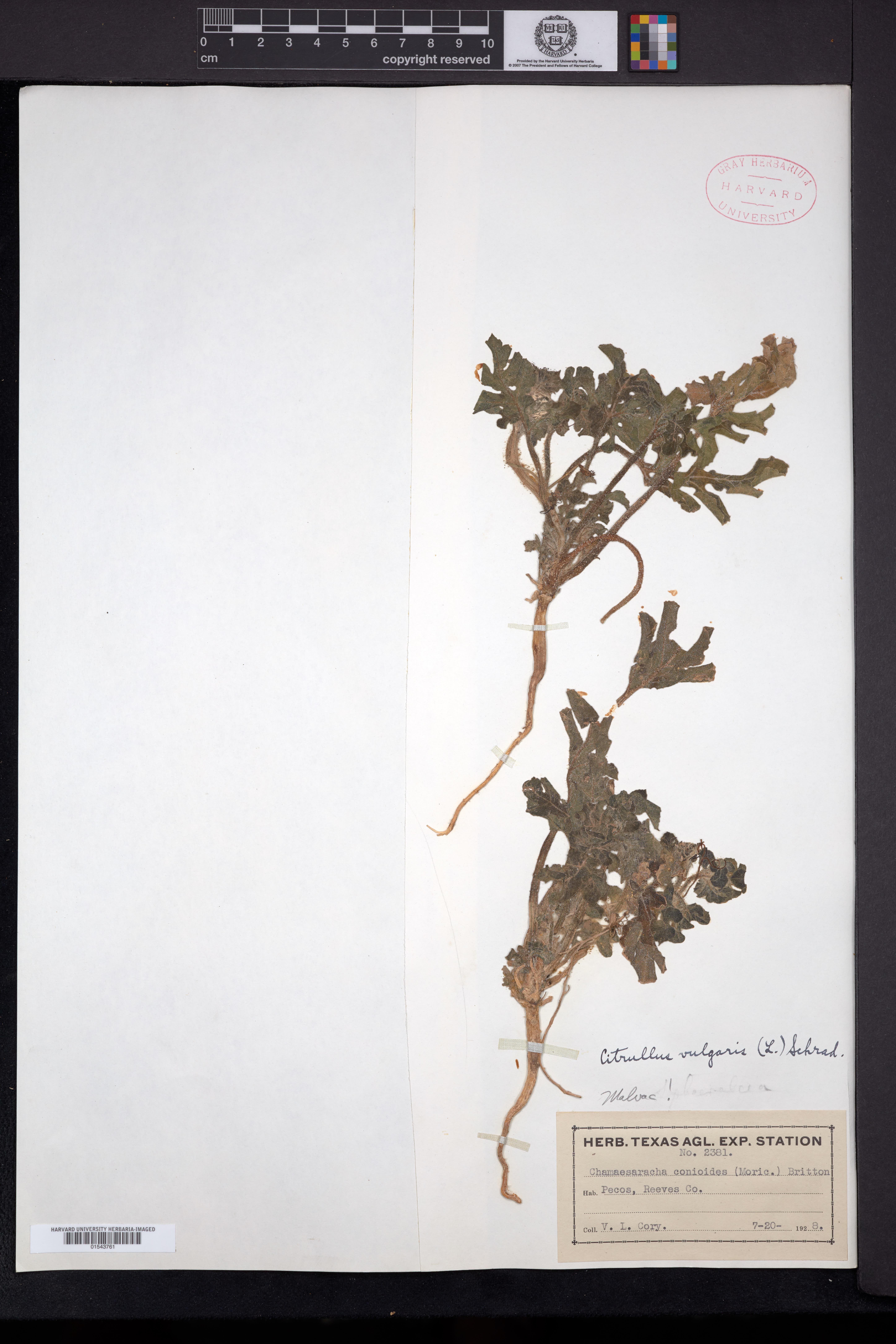 Citrullus lanatus image
