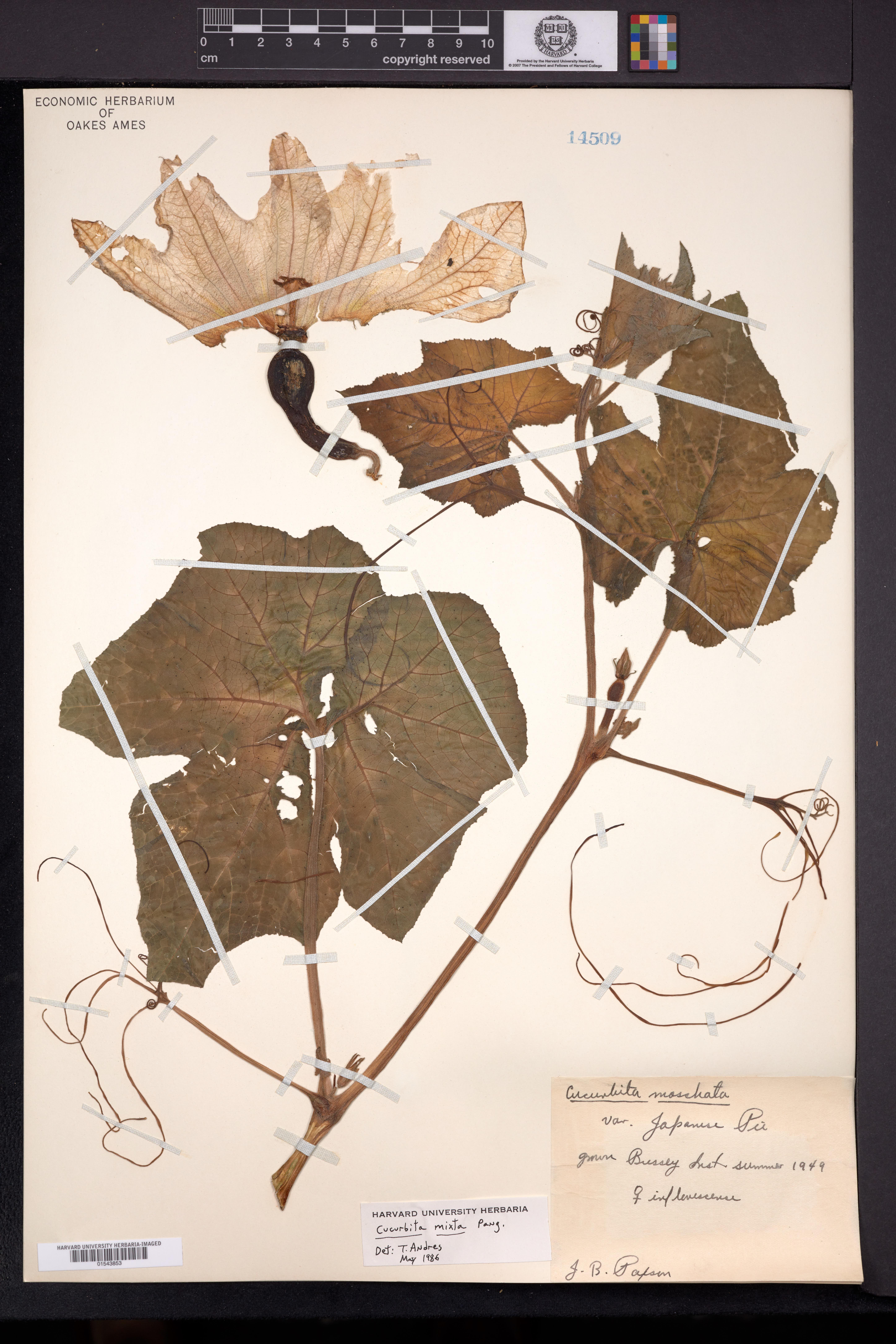 Cucurbita argyrosperma image