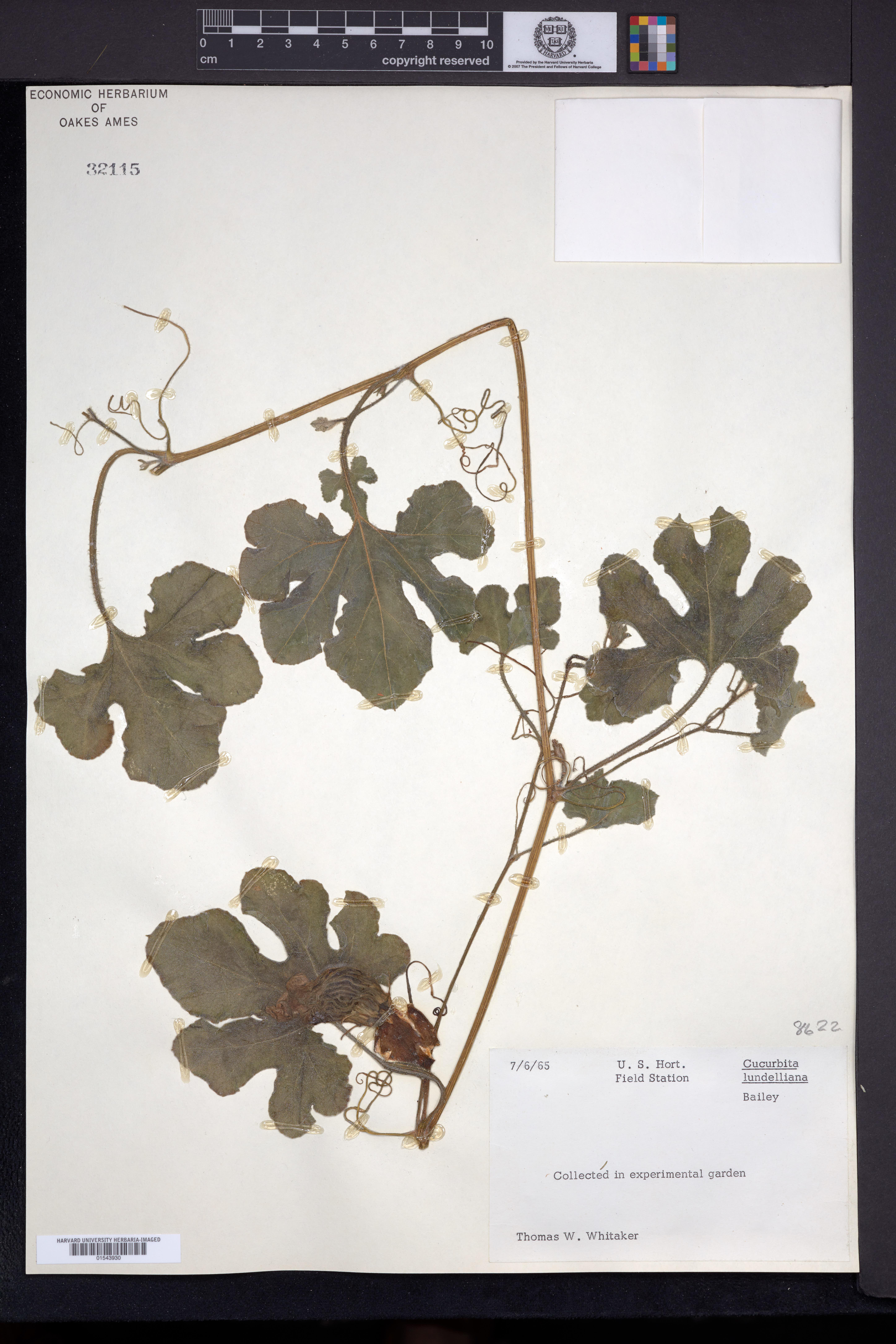 Image of Cucurbita lundelliana