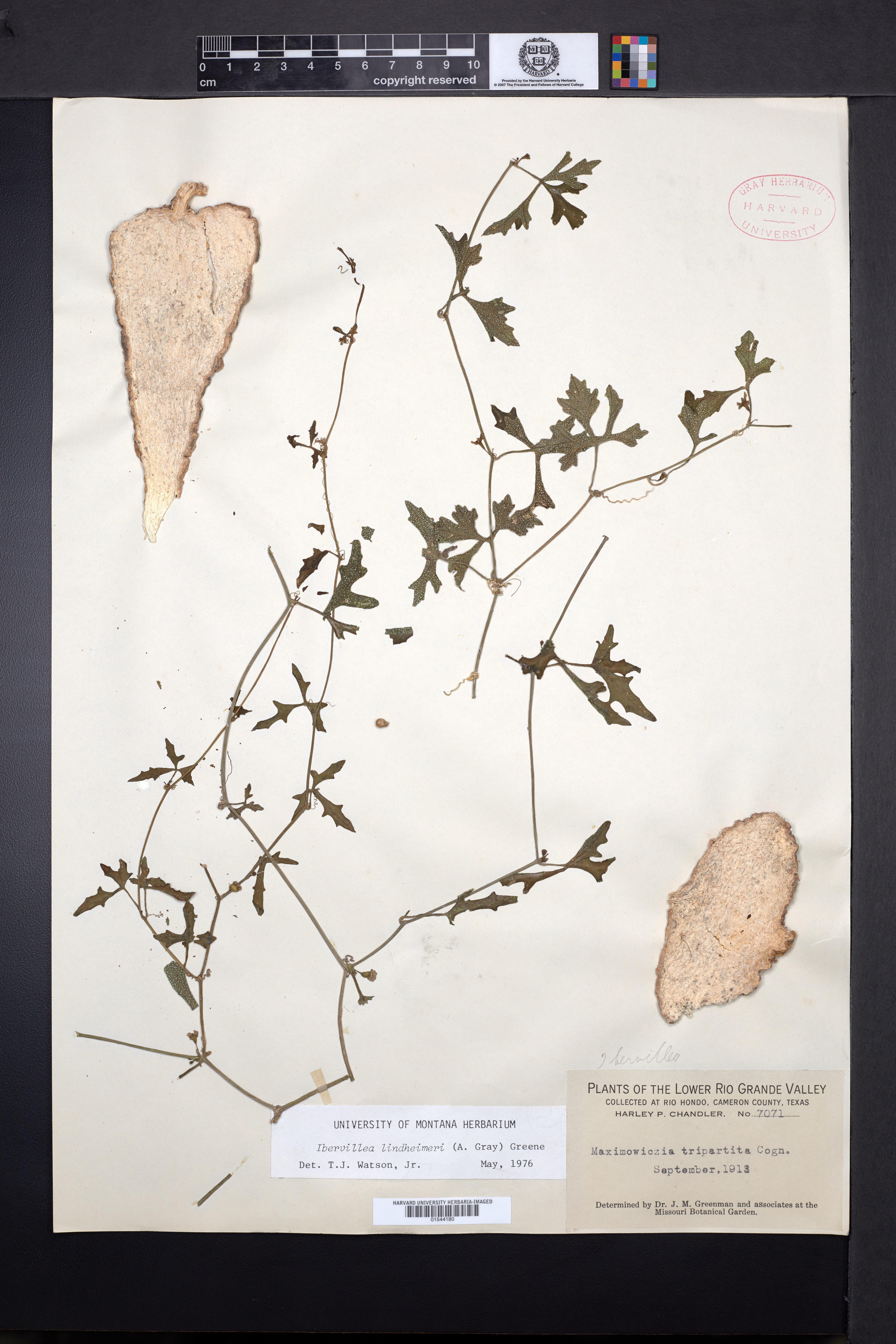 Ibervillea lindheimeri image