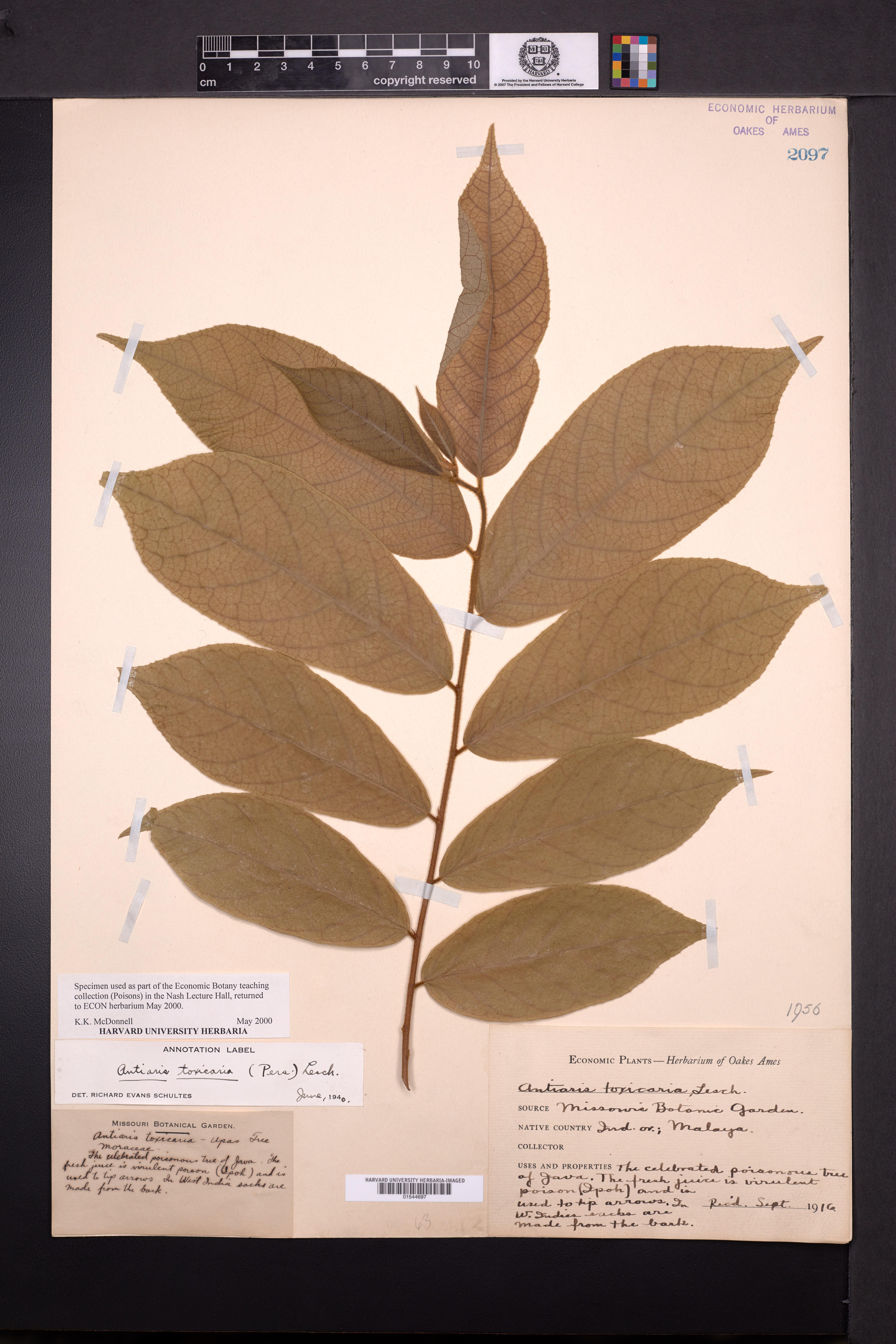 Image of Antiaris toxicaria