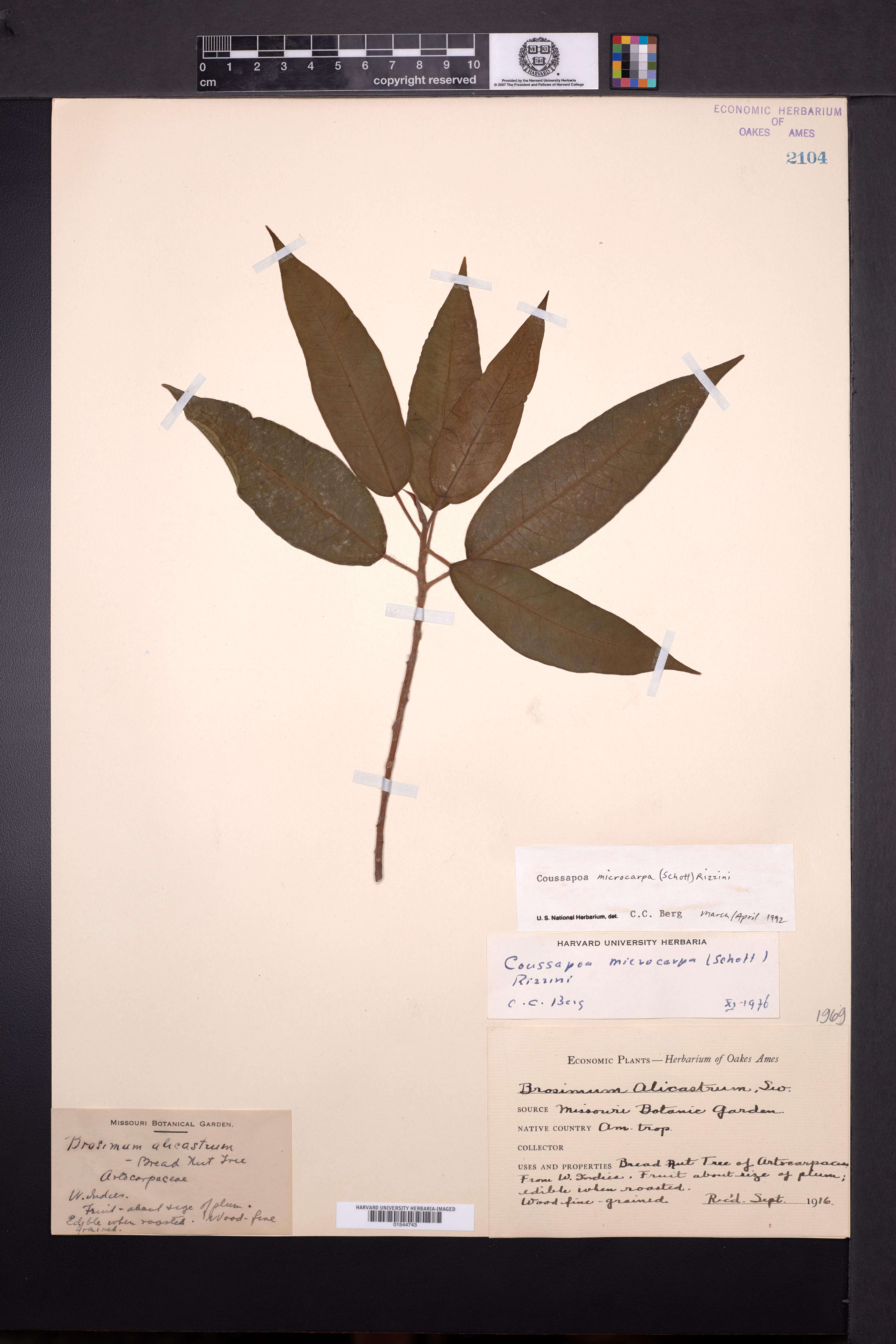Image of Coussapoa microcarpa