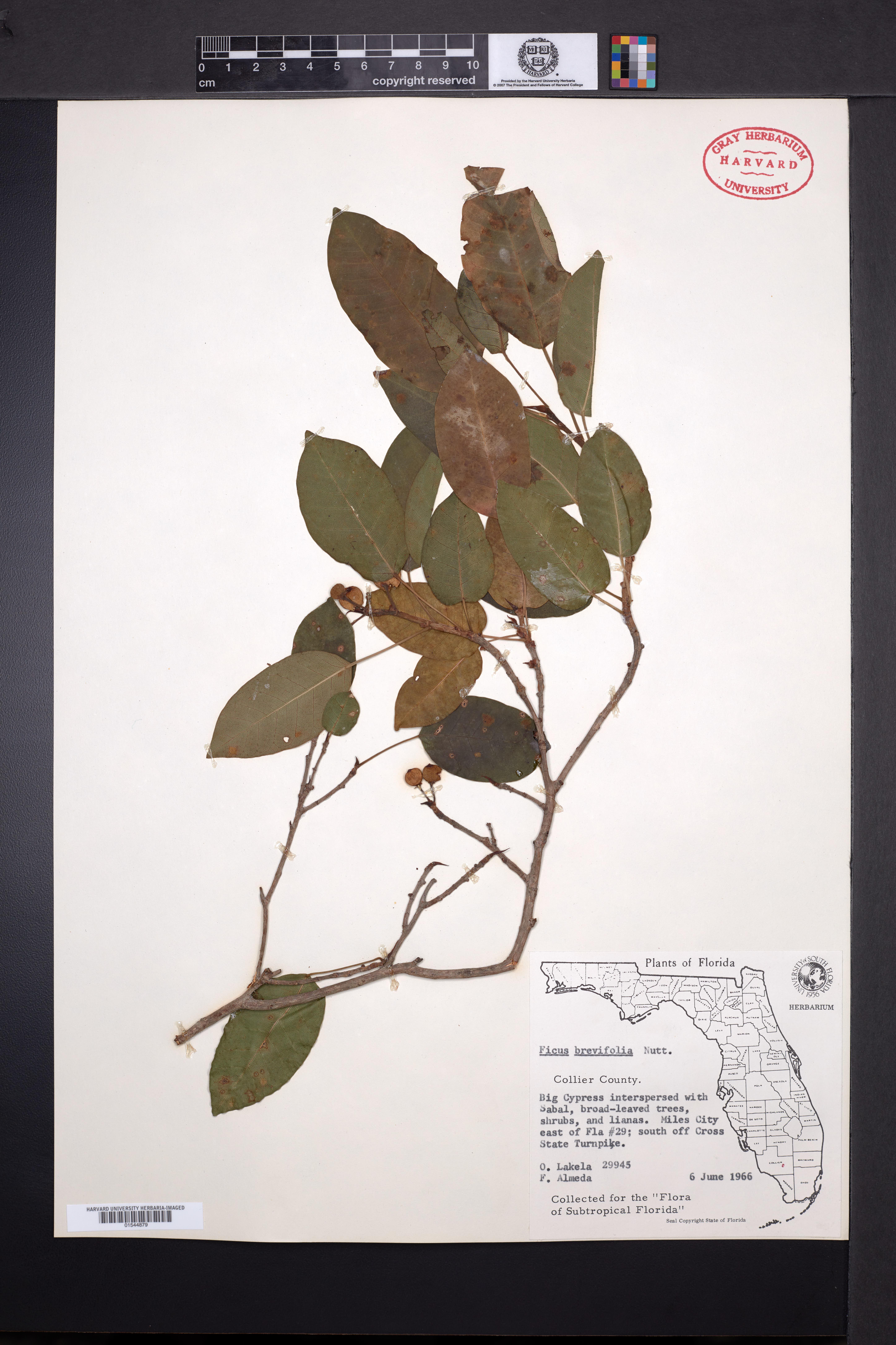 Ficus citrifolia image