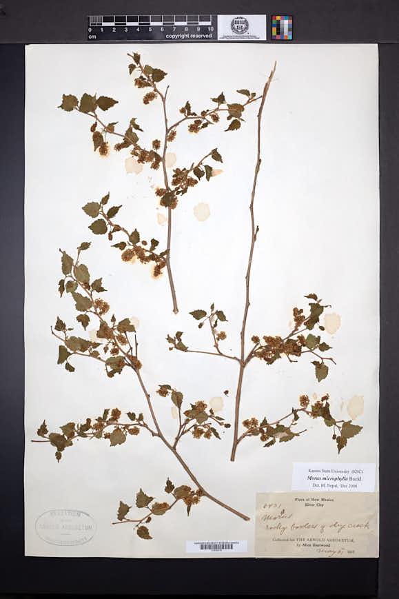Morus microphylla image