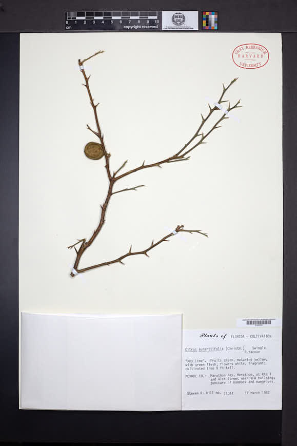 Citrus aurantifolia image