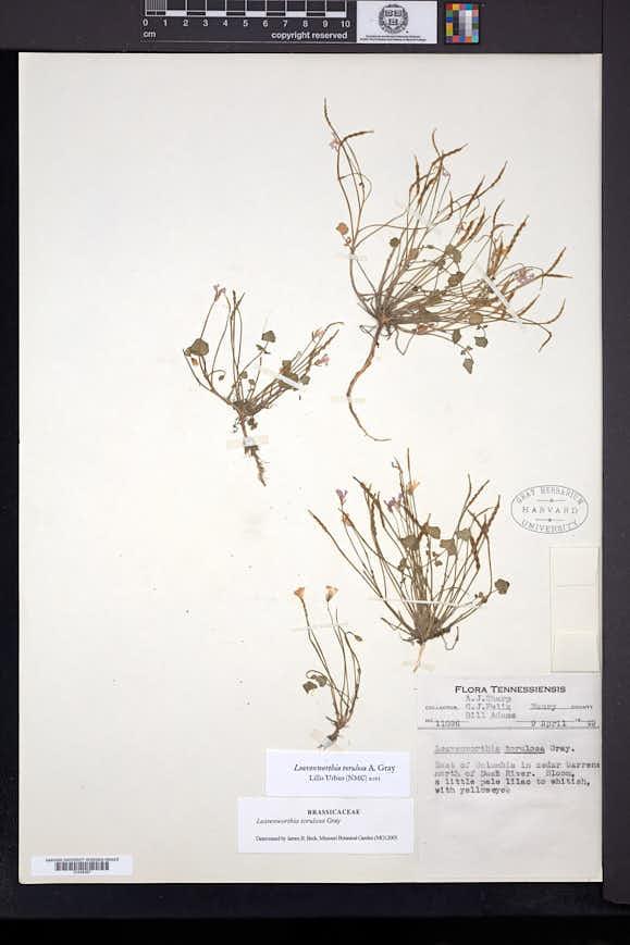 Leavenworthia torulosa image
