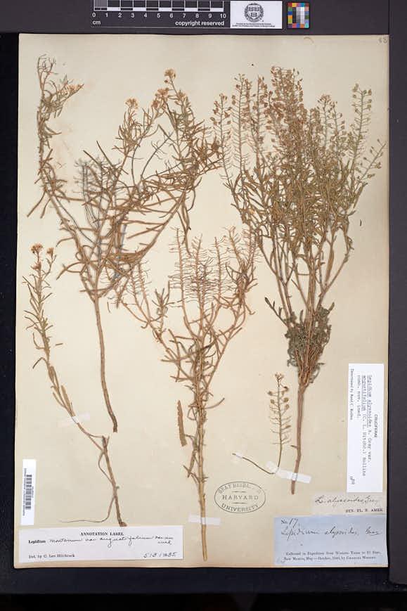 Lepidium alyssoides var. angustifolium image