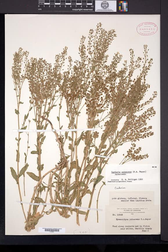 Lepidium appelianum image