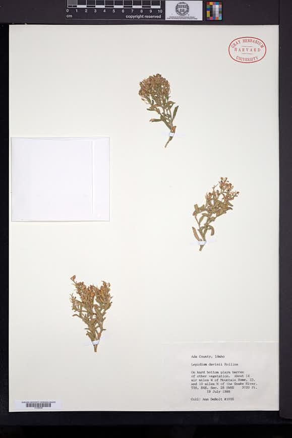 Lepidium davisii image